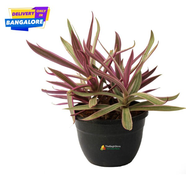 Moses in Cradle Plant Nursery Near Me Bangalore Delivery
