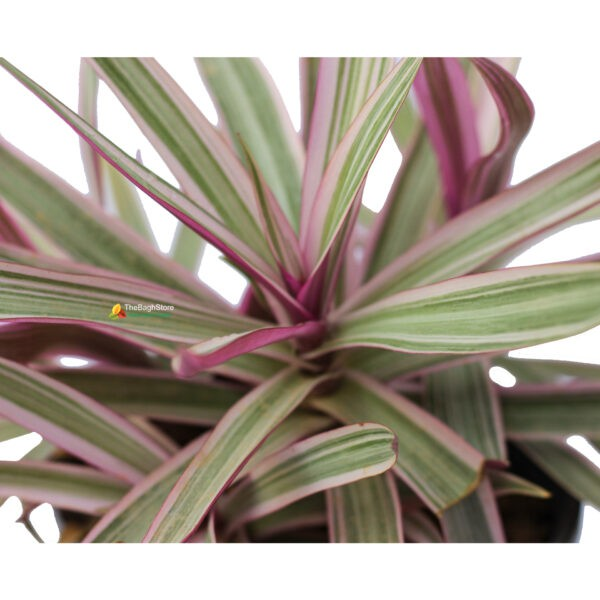 Rhoeo Discolor Plant Nursery Near Me Bangalore Delivery