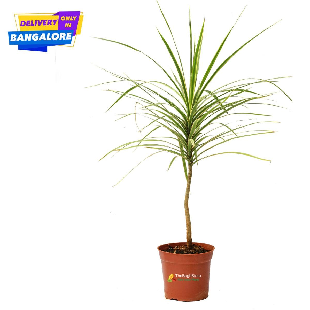 Dracaena marginata, , Dragon tree beautiful decorative plant online bangalore nursery near