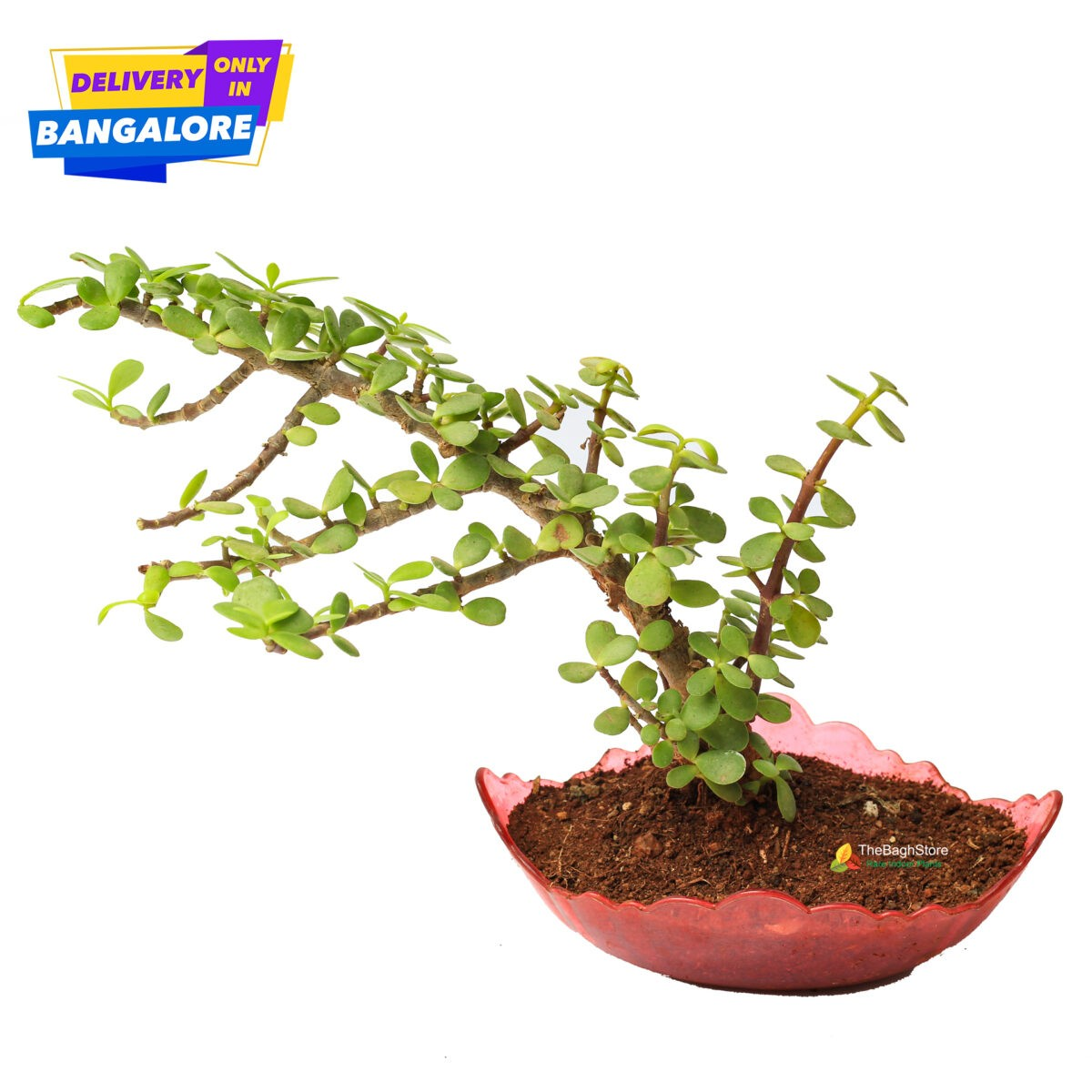 Jade Bonsai Plant Online Plants in Bangalore