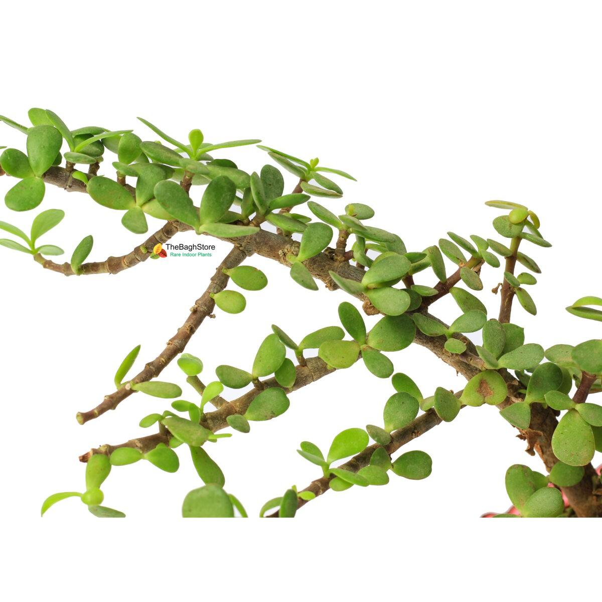 Jade Bonsai indoor Table Top Plant in Nursery Near me