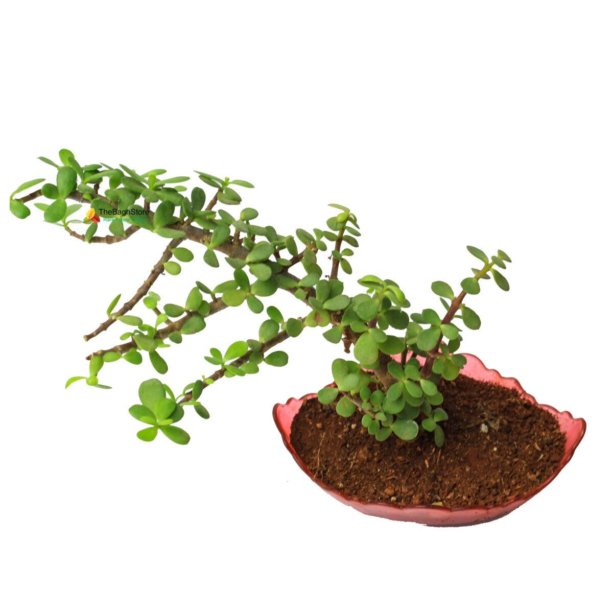 Jade Bonsai Plant in indoor plant nursery near me
