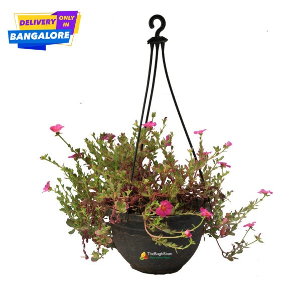 Portulaca, Table Moss, Hanging Plants for Bangalore Nursery