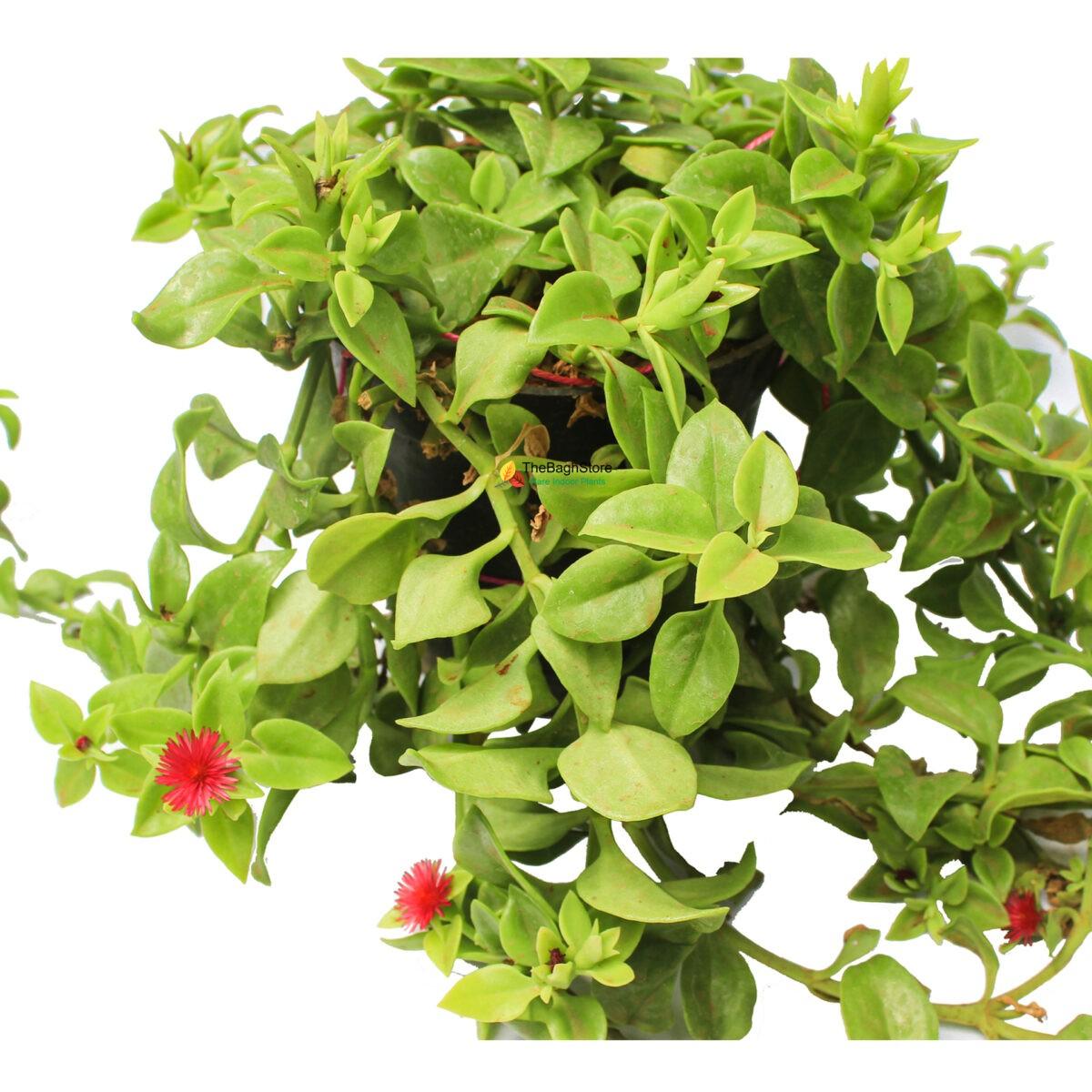 Aptenia, Heartleaf Ice - Succulent Plant