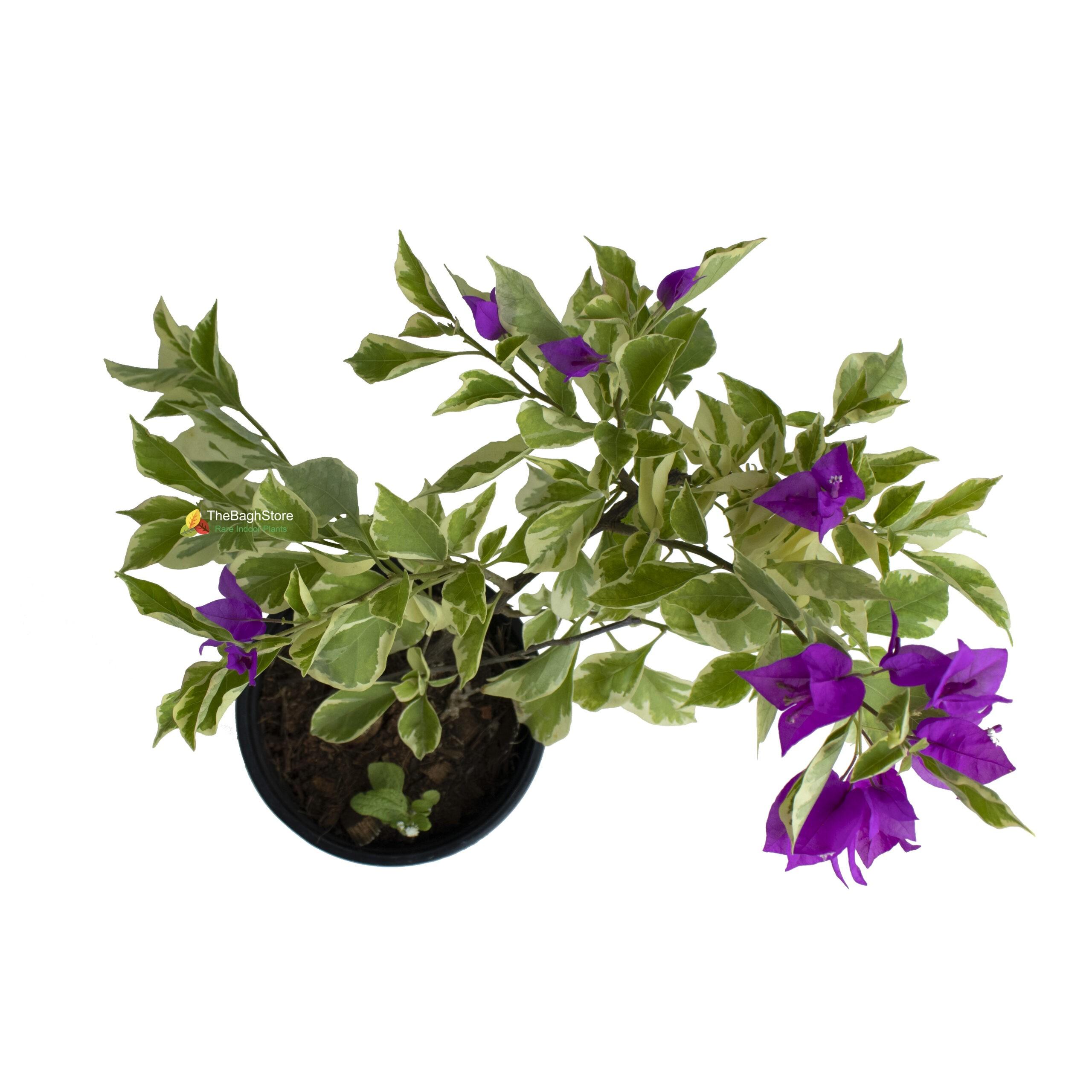 Bougainvillea (Purple)