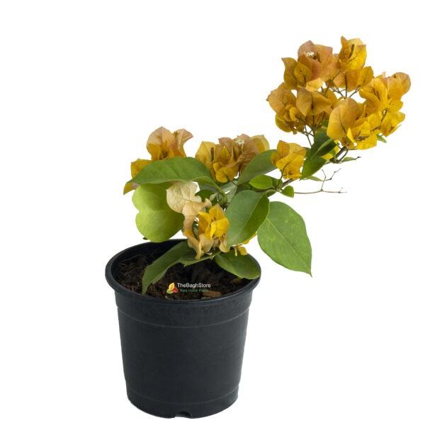 Bougainvillea (Yellow)