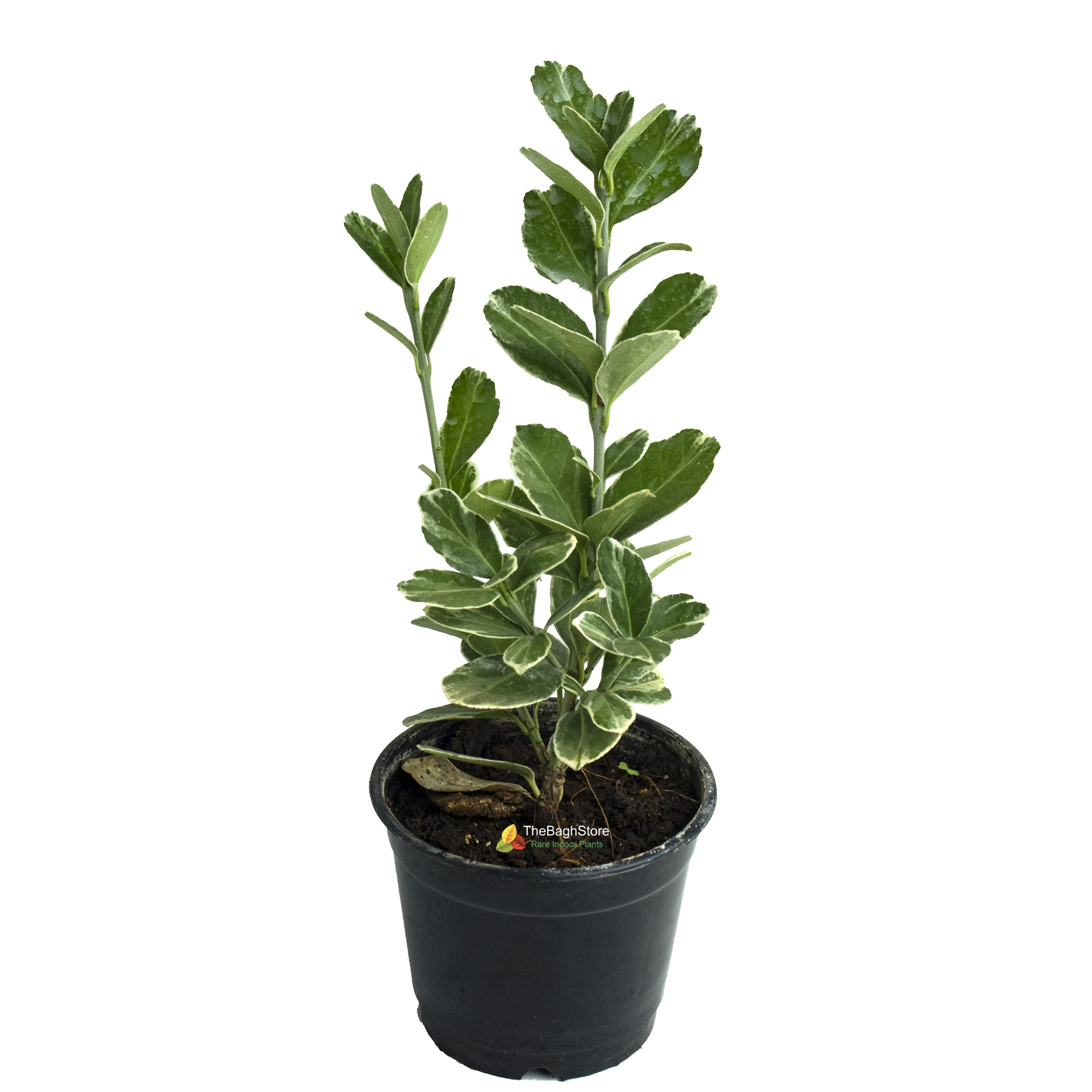 Euonymus fortunei 'Emerald Gaiety', Plant