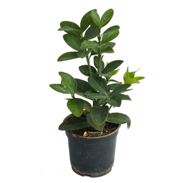 Euonymus japonicus 'Green Spire – Plant