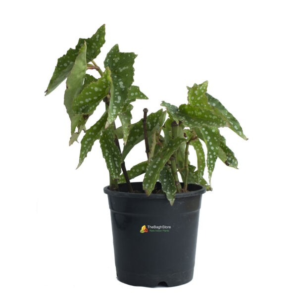 Begonia Maculata Tamaya Plant