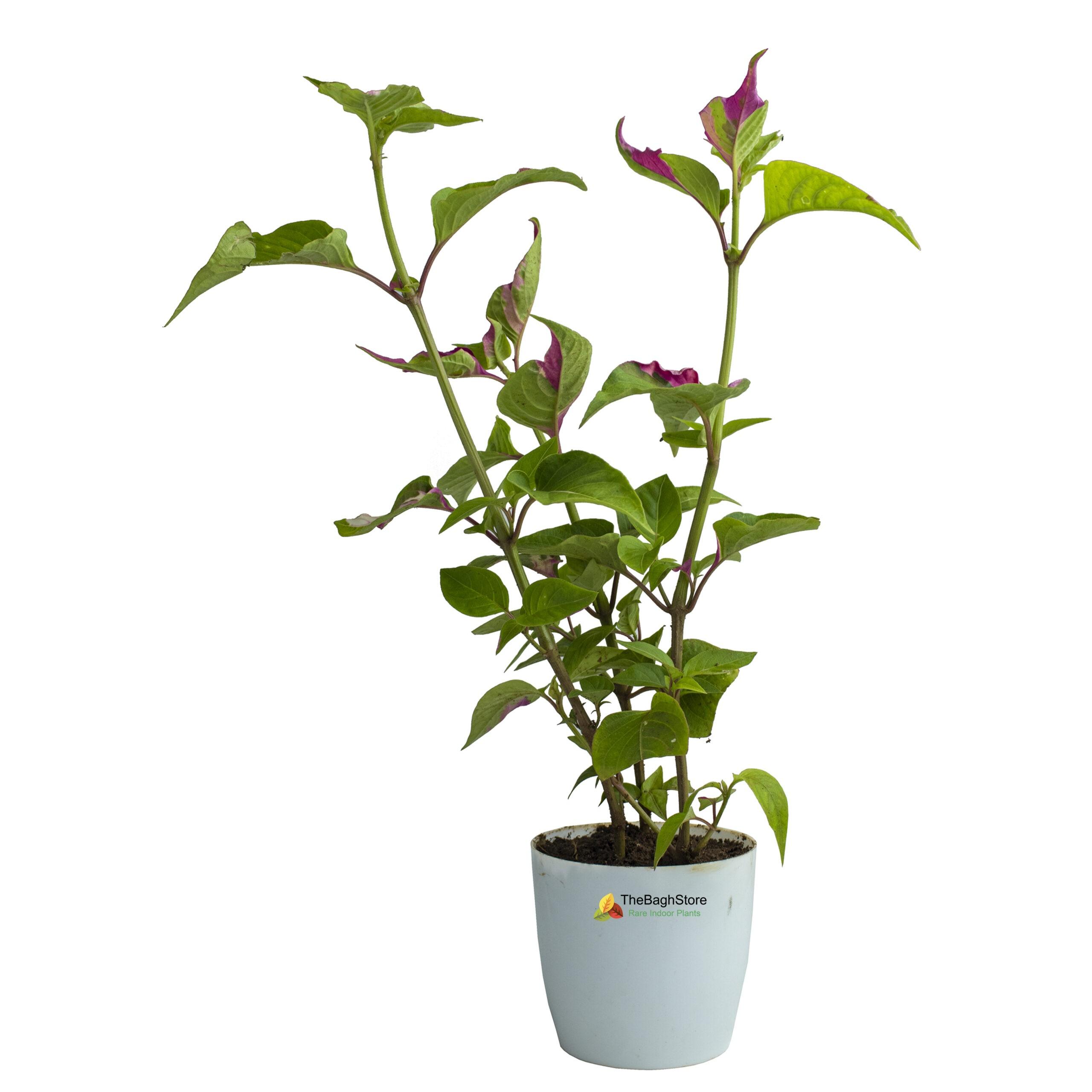 Iresine 'Pink Icing' , Plant