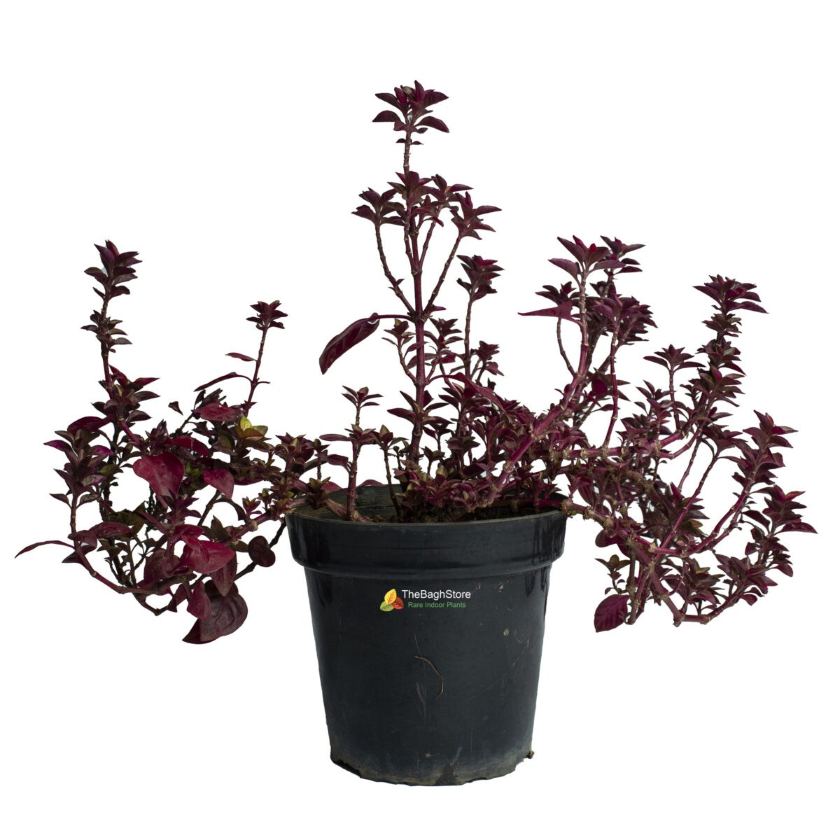 Alternanthera (Red) - Plant