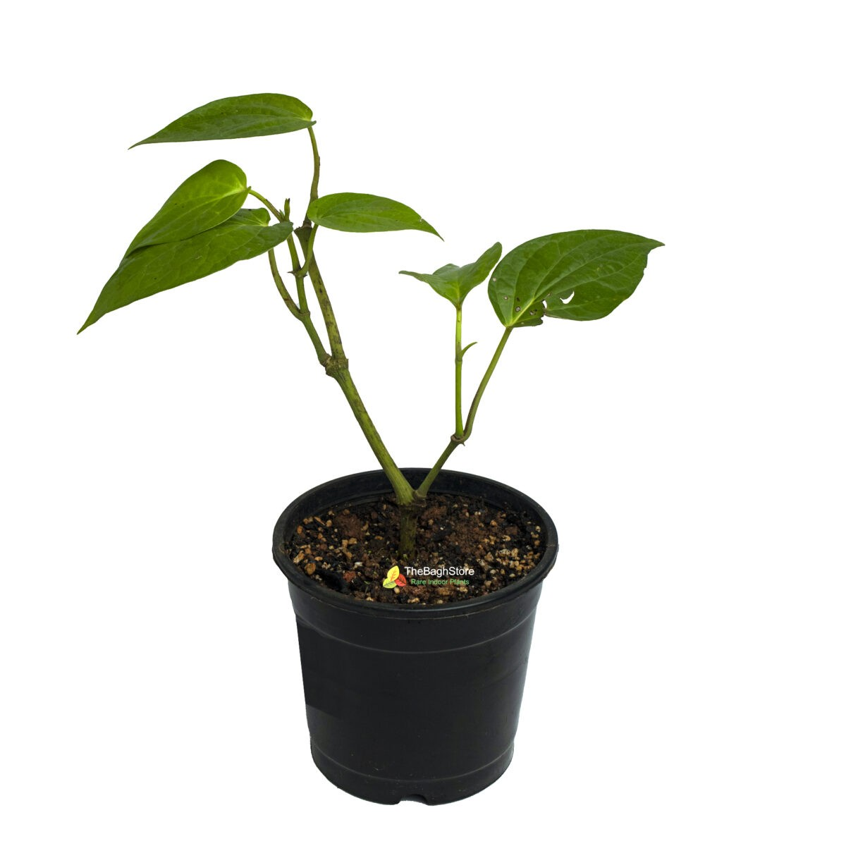 Piper Betel, Maghai Paan – Plant