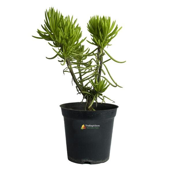 Euphorbia Cyparissias , Cypress Spurge - Plant
