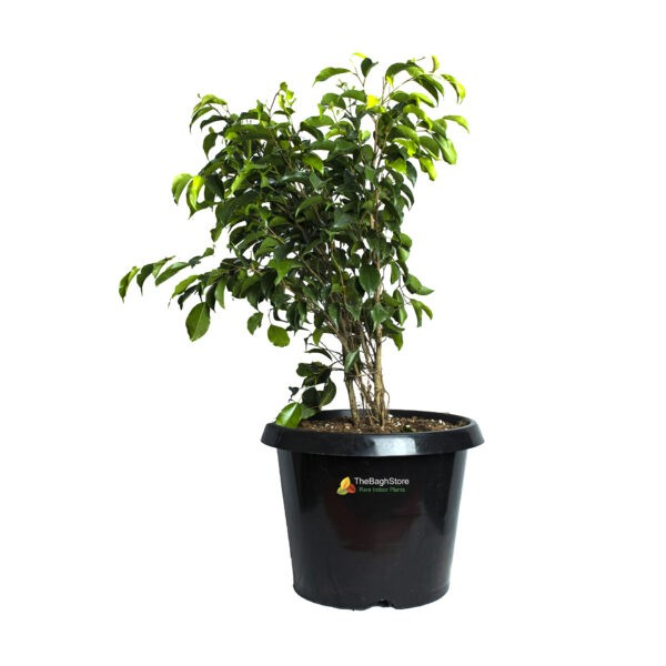 Ficus Benjamina, Weeping Fig - Plant
