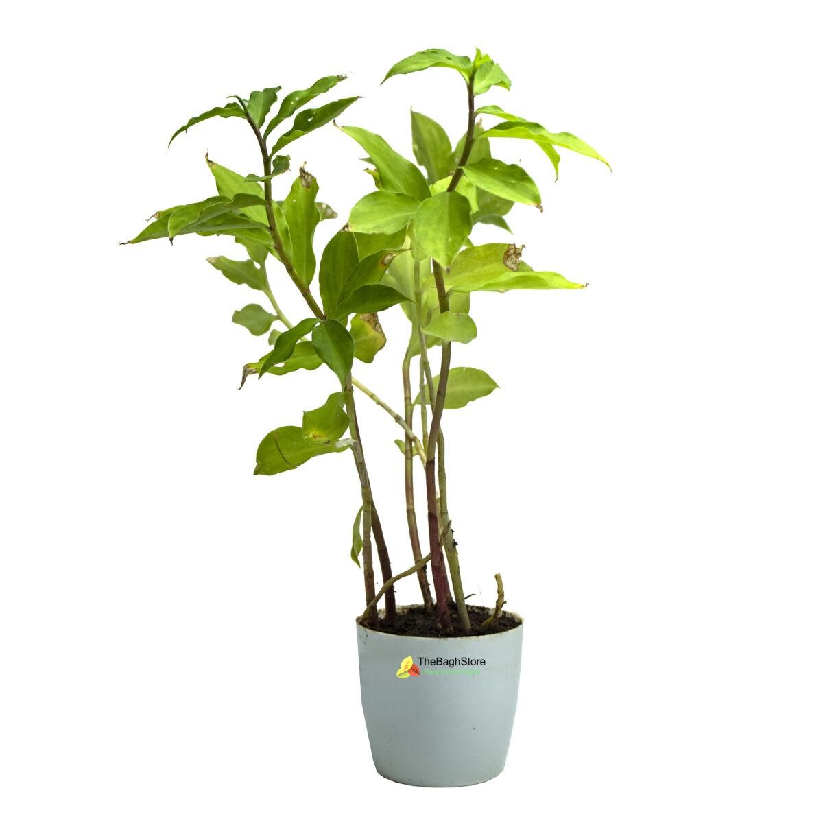 Insulin Plant, Costus igneus - Plant