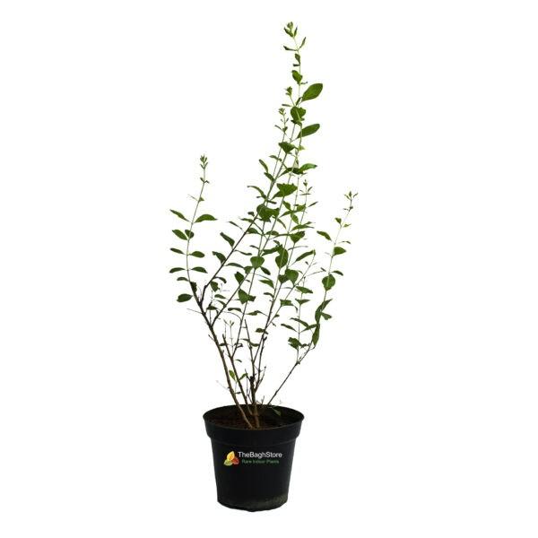 Mehendi Plant