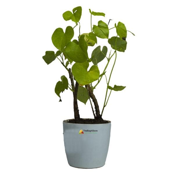 Moonseed Menispermum Canadense