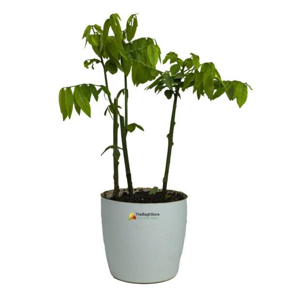Multivitamin,Thavasi Keerai - Plant