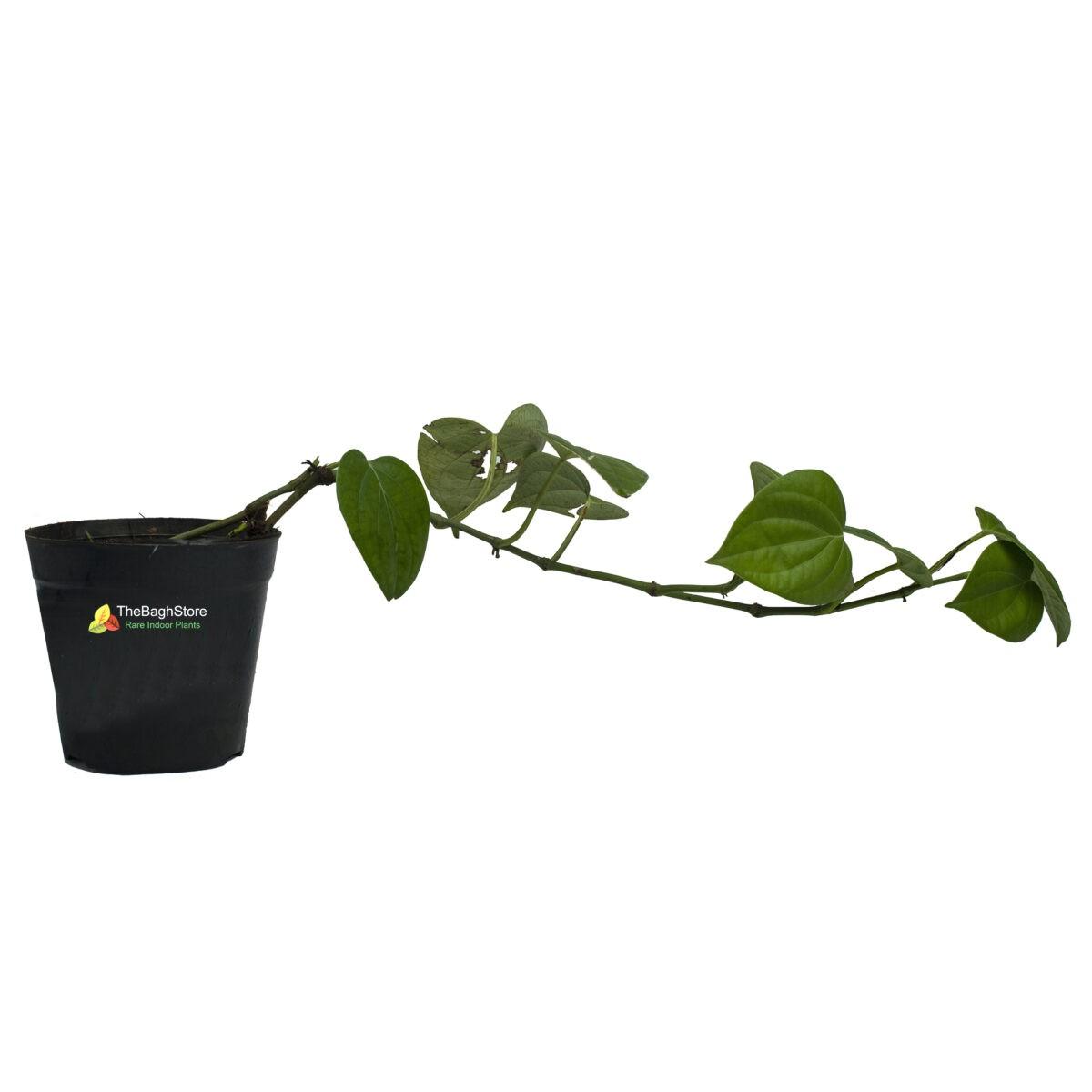 Pepper Plant , Piper nigrum, Kali Mirch – Plant