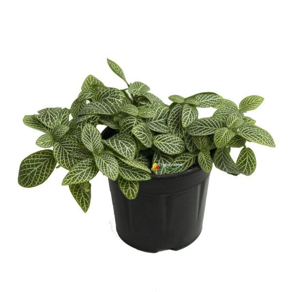Fittonia Albivenis, White Nerve Plant - Plant