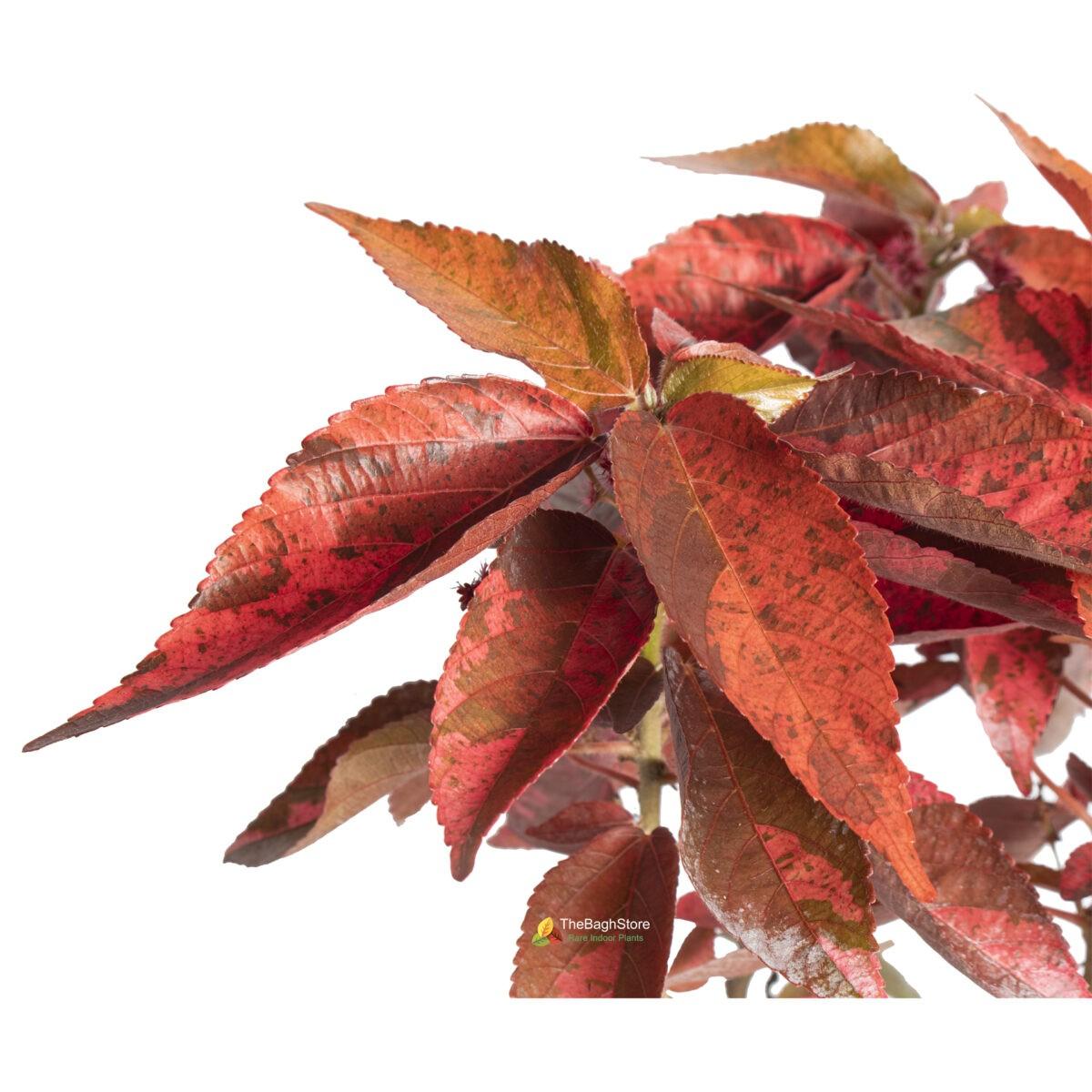 Acalypha wilkesiana, Copperleaf - Plant