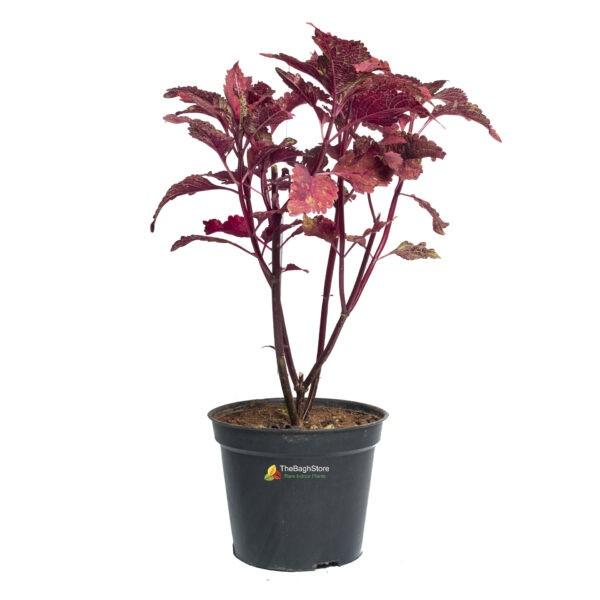 Coleus ,Pleactranthus Scutellariodes - Plant
