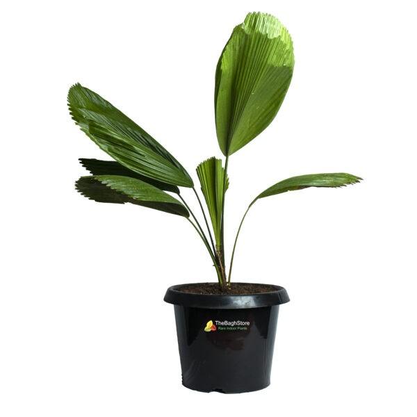 Ruffled fan palm,Pichodia grandis, Licuala grandis - Plant