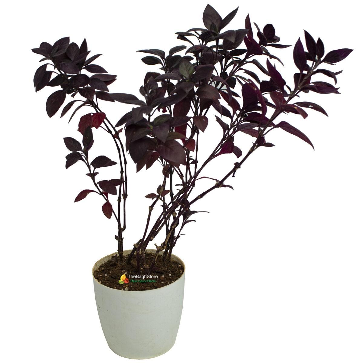Alternanthera Brasiliana, Plant