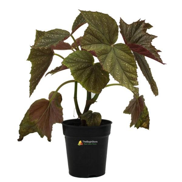 Begonia-Aconitifolia
