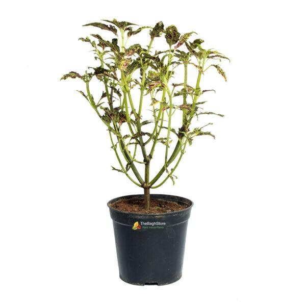 Coleus ,Pleactranthus Scutellariodes , Green - Plant