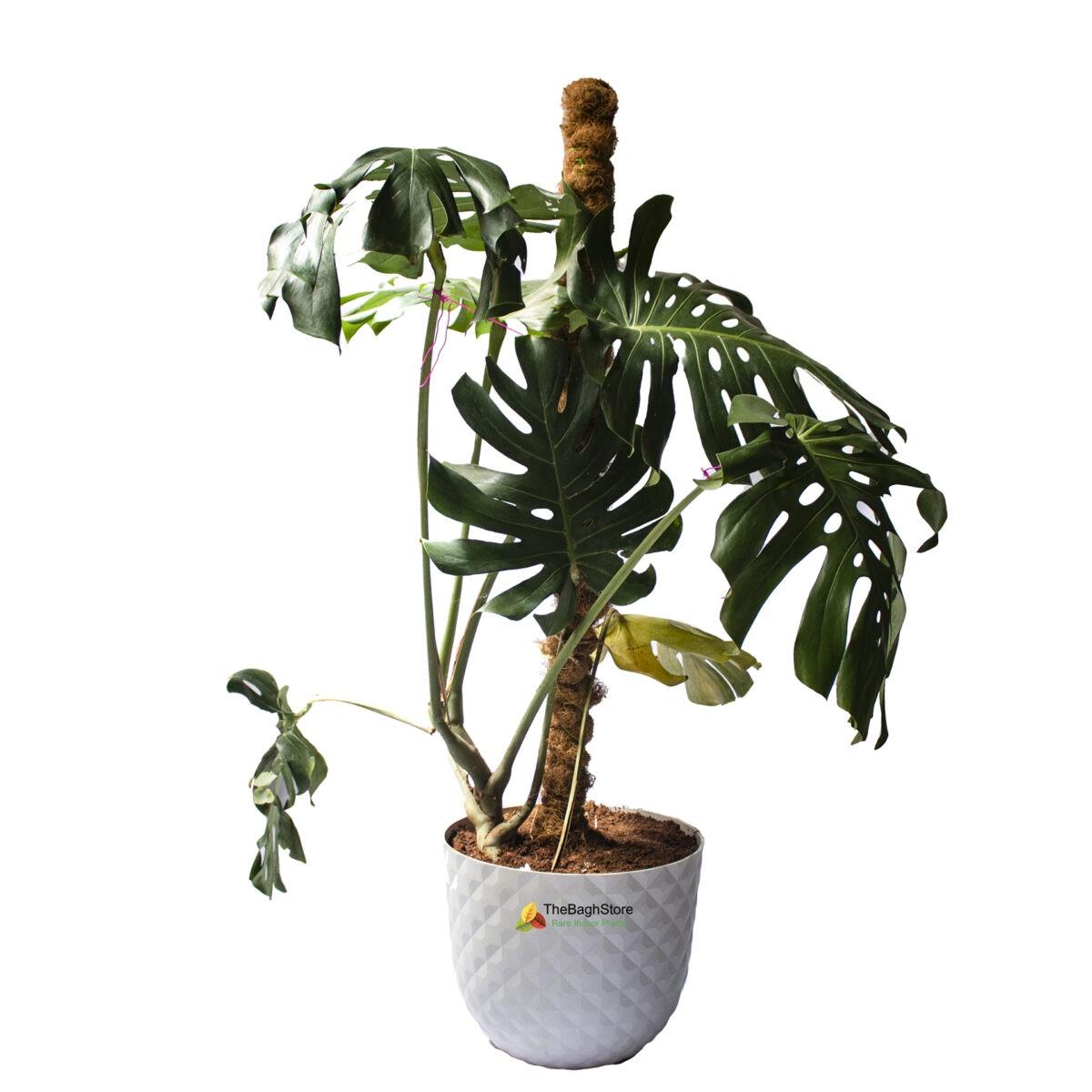 Monstera Deliciosa , 5ft - Plant