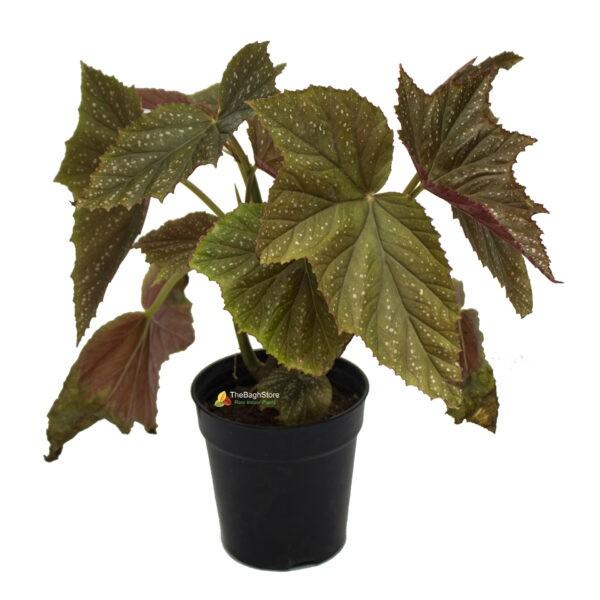 Begonia Aconitifolia - Plant