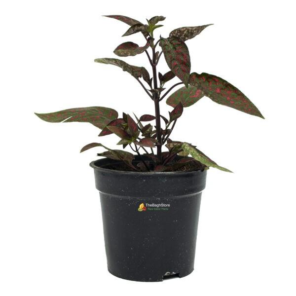 Polka Dot Plant, Hypoestes Sanguinolenta - Plant