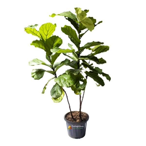 Fiddle Leaf Fig Plant , Ficus Lyrata, Bambino , Big 5 ft - Plant