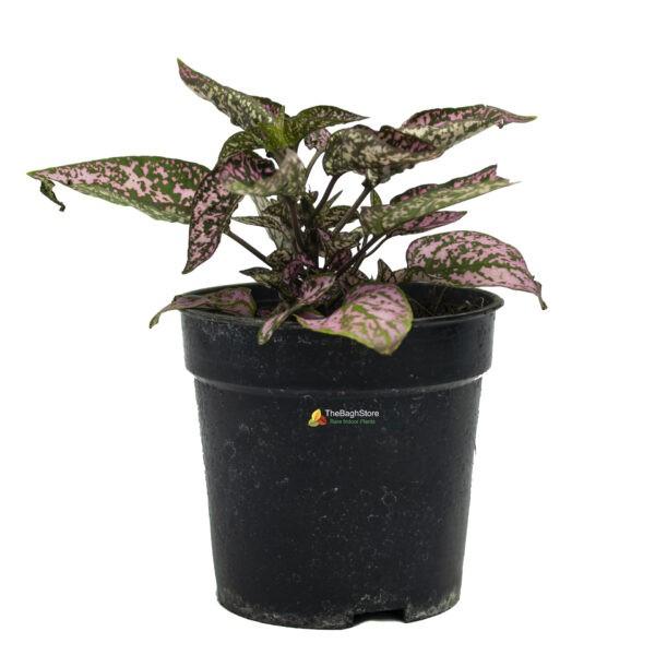 Polka Dot Plant, Hypoestes Phyllostachya - Plant