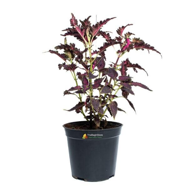 Coleus ,Pleactranthus Scutellariodes , Maroon - Plant
