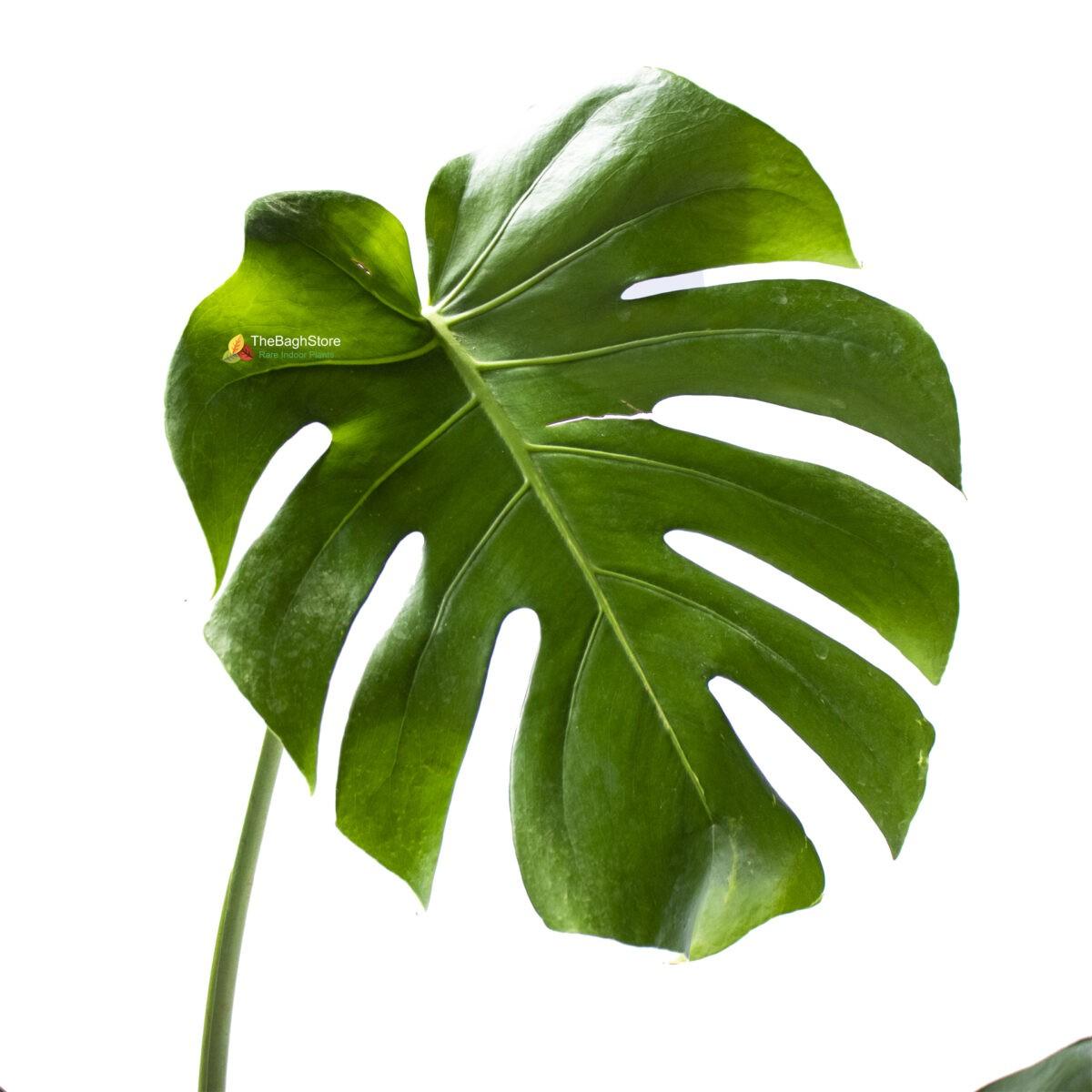 Monstera Deliciosa , Matured - Plant