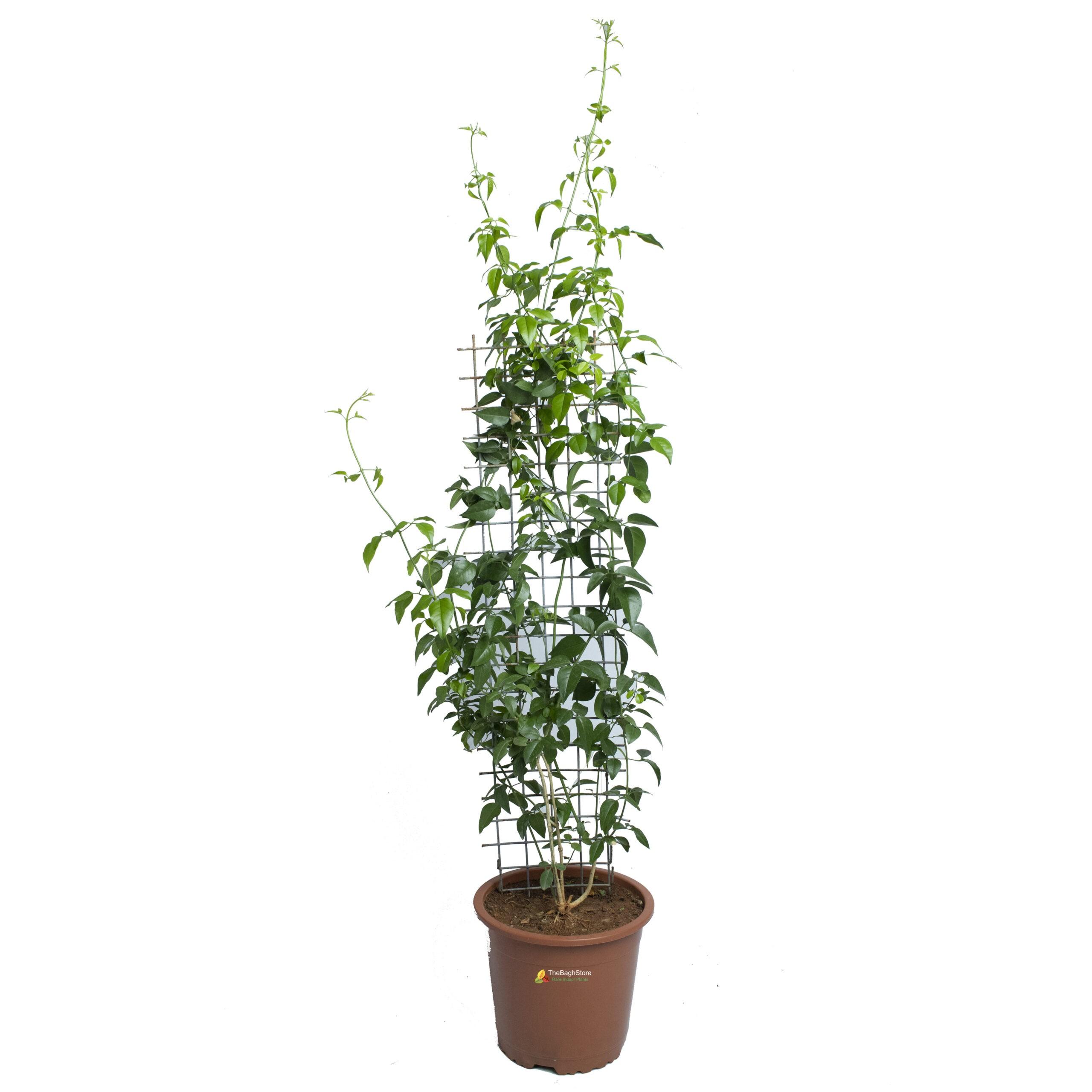 Jasmine Vine, Jasmine Climber Creeper, Star Jasmine ,Trachelospermum Jasminoides - Plant