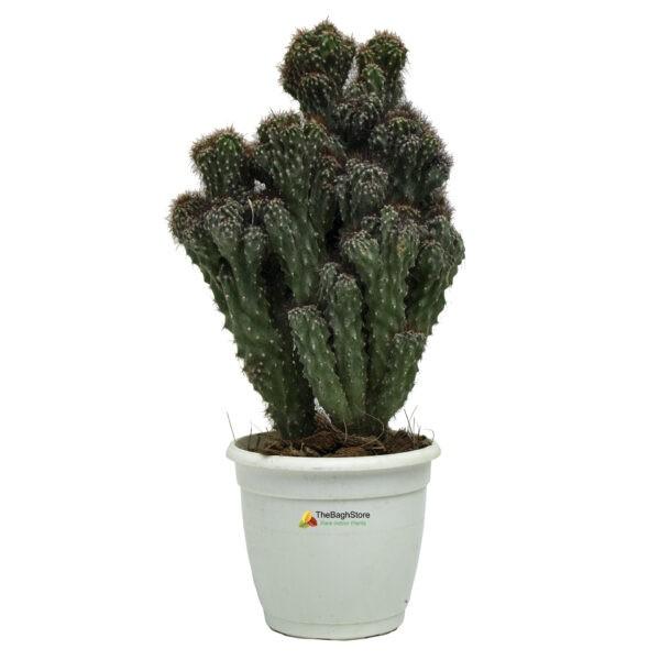 Cereus Peruvianus Monstrose ,Cactus - Plant