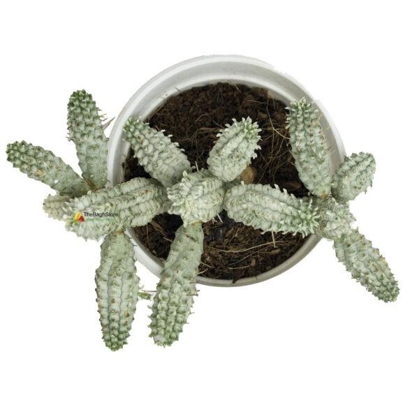 Euphorbia Mammillaris Variegata , Cactus - Plant
