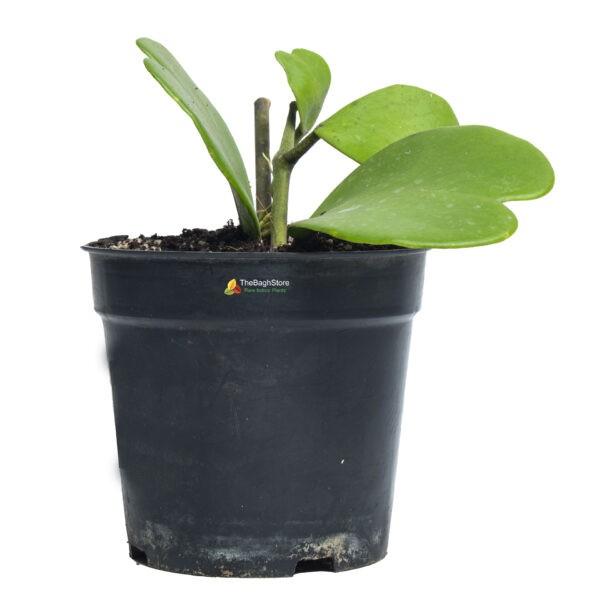 Heart Hoya Kerri - Plant