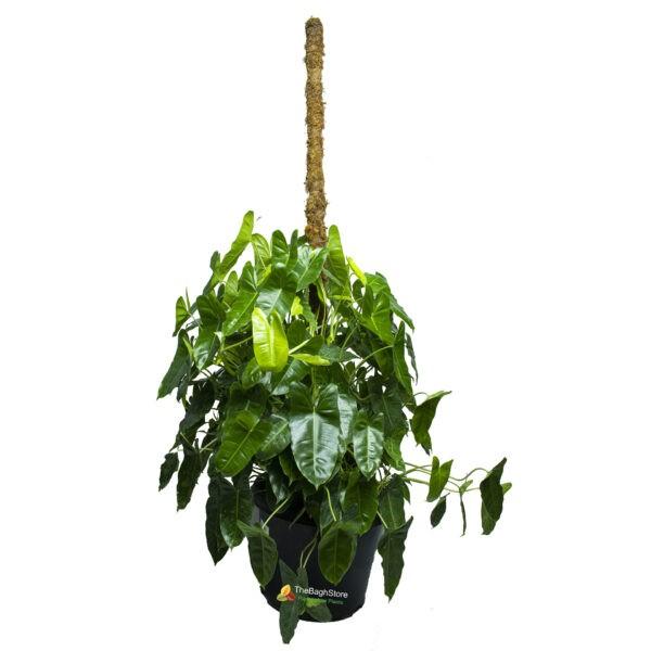 Philodendron Kerala Hybrid - Plant