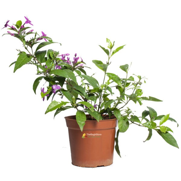 PSEUDERANTHEMUM LAXIFLORUM, KODIA (PURPLE) - PLANT