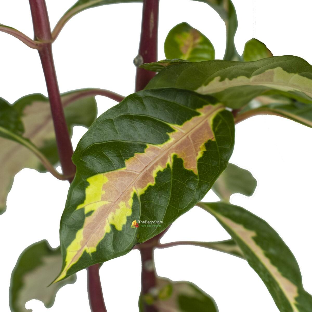Graptophyllum Pictum , Caricature Plant