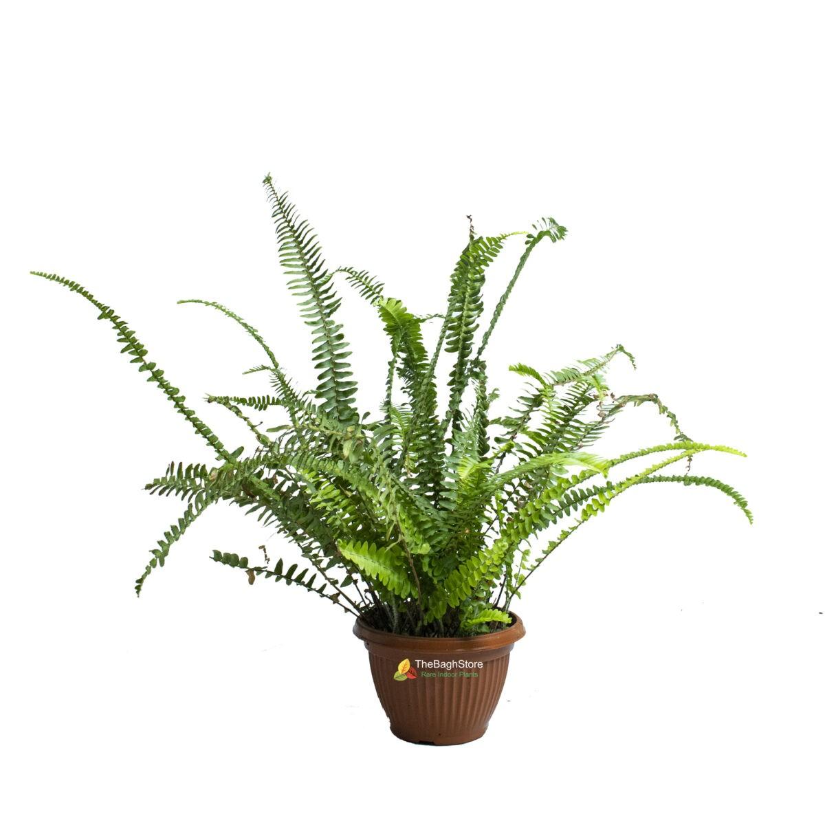 Nephrolepis Exaltata Bosteniensis, Boston Fern - Plant