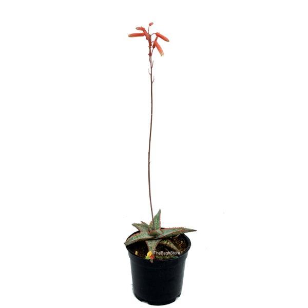 Aloe ' Carmine' , Succulent – Plant