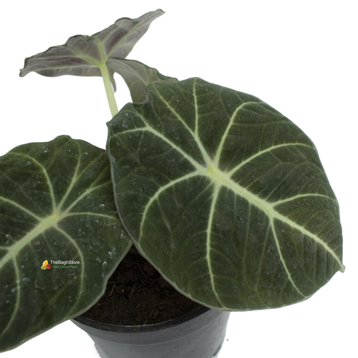 Alocasia Black Velvet , Alocasia Reginula - Plant