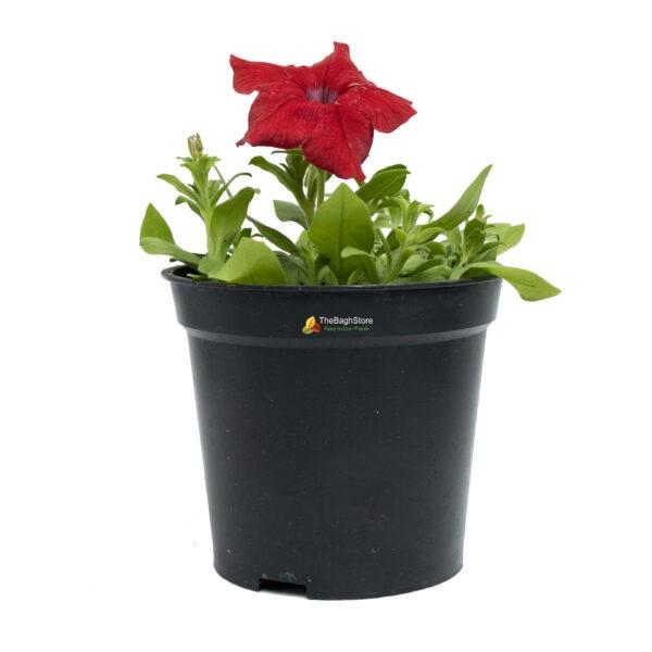 Petunia (Red) - Plant