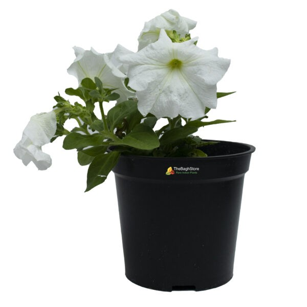 Petunia (White) - Plant