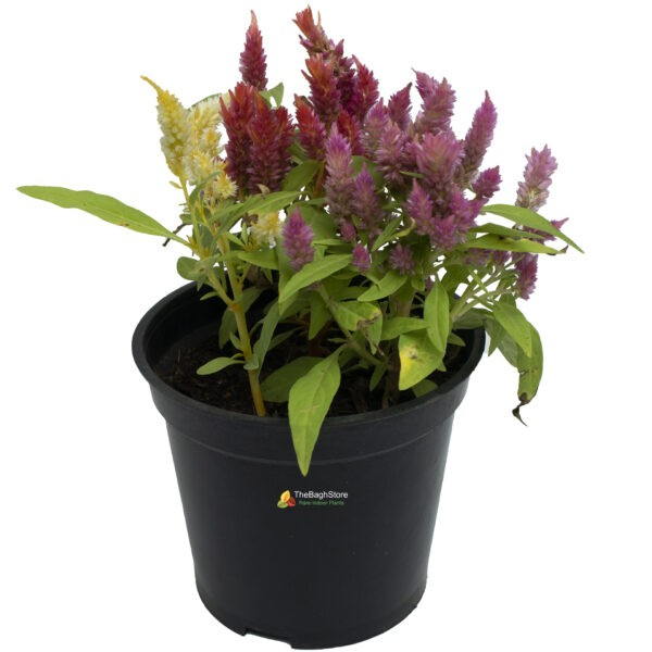 Celosia Argentea , Silver Cockscomb - Plant
